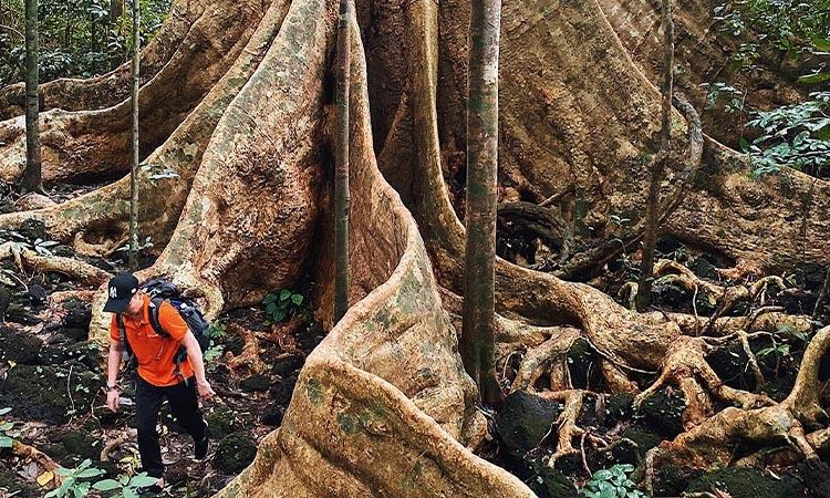 Cây Tùng Nam Cát Tiên