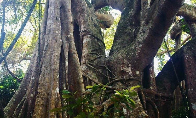 Cây đa trên bán đảo Sơn Trà Đà Nẵng