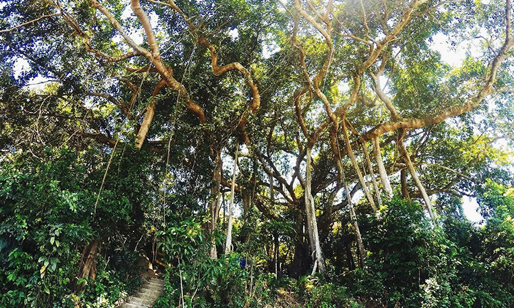 Cây đa trên bán đảo Sơn Trà